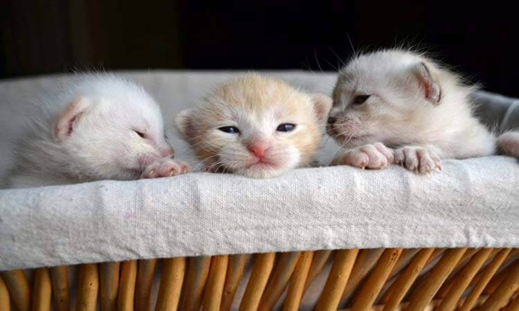 What To Feed Newborn Kittens During An Emergency